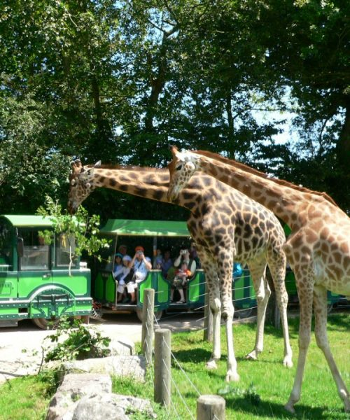 Safari-train-1